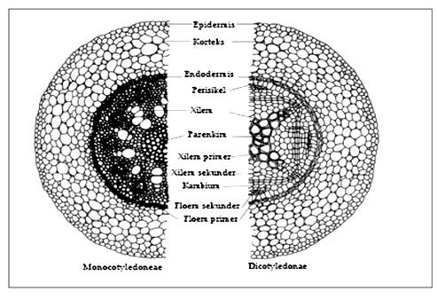 anatomi akar monokotil dan dikotil