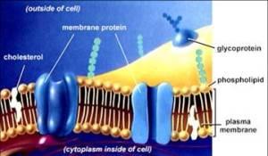 anatomi membran plasma