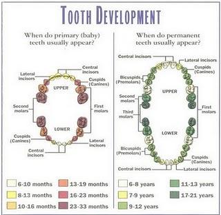 strukutur gigi