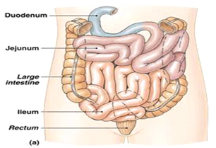 intestinum
