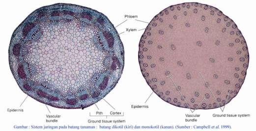 perbandingan anatomi batang monokotil dan dikotil