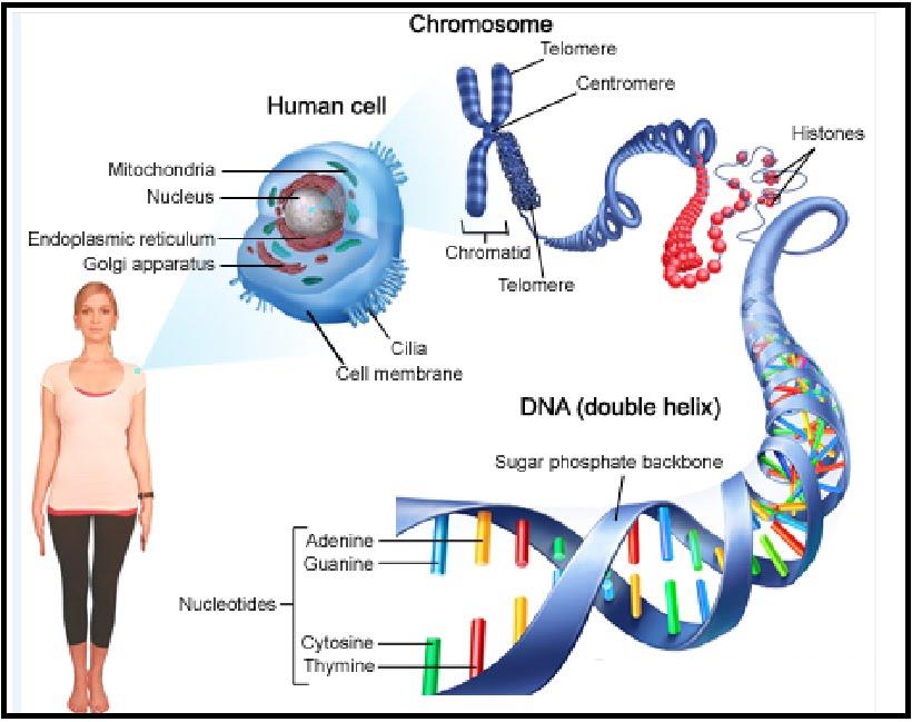 Kromosom | DNA-polinukleotida| nukleotida | gen | Konsep ...