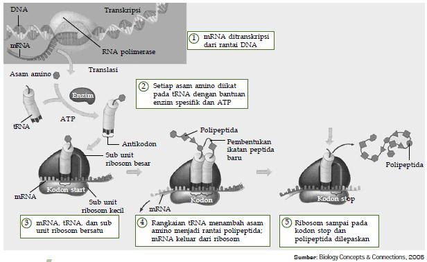 Sintesis Protein Transkripsi Translasi Konsep Biologi
