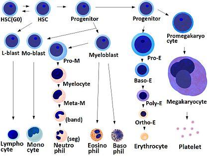 diferensiasi darah