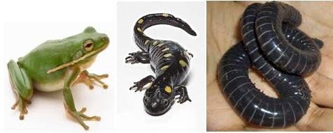 gambar 3 wakil ordo amphibian: katak, salamander, caecilian