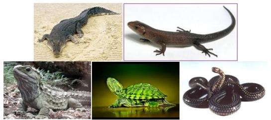 perwakilan tiap ordo reptil