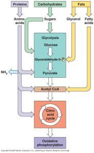 jalur metabolisme makromolekul